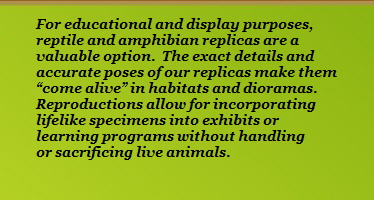 For educational and display purposes,                 reptile and amphibian replicas are a                 valuable option.  The exact details and                 accurate poses of our replicas make them                 �come alive� in habitats and dioramas.                 Reproductions allow for incorporating                 lifelike specimens into exhibits or                 learning programs without handling                 or sacrificing live animals.